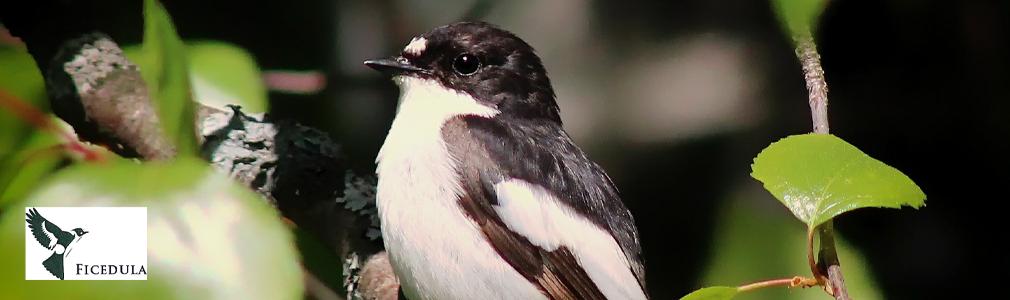 ficedula-logo-e-uccello